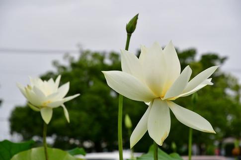 2019-07-07  C-Resized  古代蓮の里(行田市)‥ (17).jpg