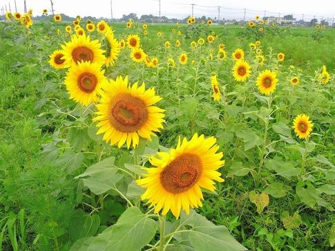 2019-07-21  ヒマワリ(川島町)‥ (9).jpg