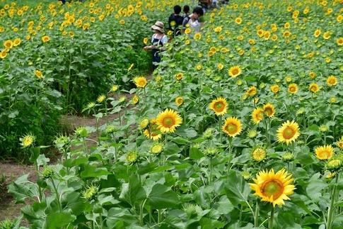 2019-07-27  ヒマワリ畑(蓮田市根金) (11).jpg