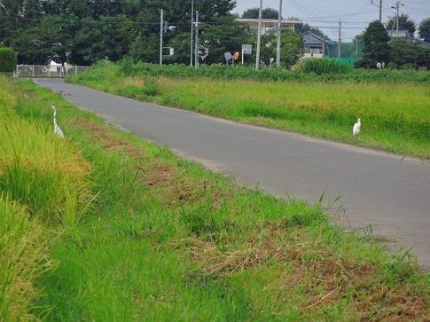 2019-09-01  Resized  田圃のコサギ‥ (1).jpg