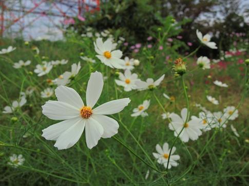 2019-09-28  Resized  秋桜(川島町)‥ (1).jpg
