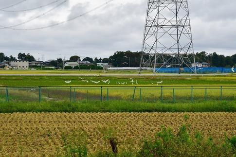 2019-10-06  Resized  白鷺の群れ(吉見町)‥ (12).jpg