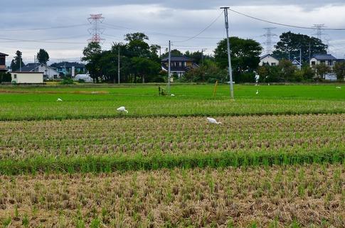 2019-10-06  Resized  白鷺の群れ(吉見町)‥ (1).jpg