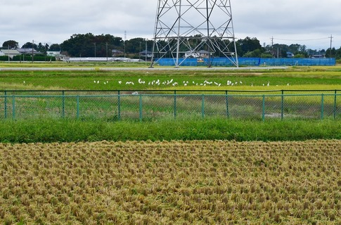 2019-10-06  Resized  白鷺の群れ(吉見町)‥ (13).jpg