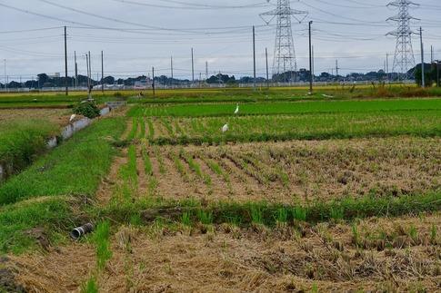 2019-10-06  Resized  白鷺の群れ(吉見町)‥ (2).jpg
