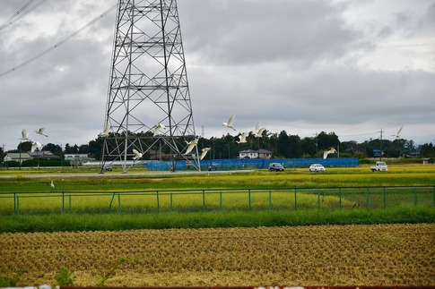 2019-10-06  Resized  白鷺の群れ(吉見町)‥ (5).jpg