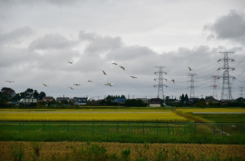 2019-10-06  Resized  白鷺の群れ(吉見町)‥ (6).jpg