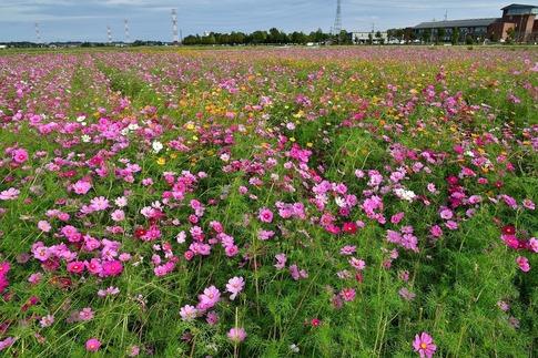 2019-10-20  Resized  川島町のコスモス畑‥ (6).jpg