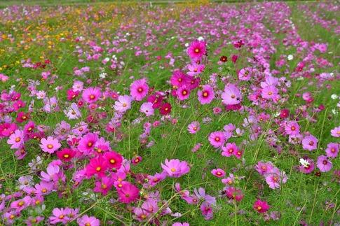2019-10-20  Resized  川島町のコスモス畑‥ (9).jpg