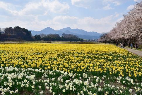 2020-04-04  Resized  岩井親水公園(群馬県東吾妻町)‥ (6).jpg