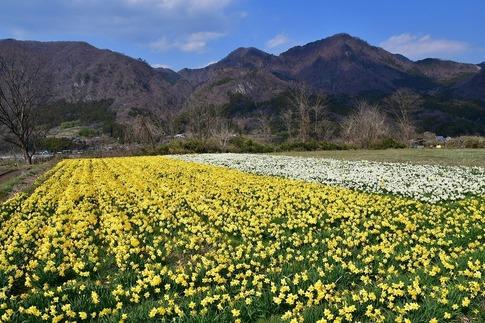 2020-04-04  Resized  東吾妻町の水仙畑ほか‥ (2).jpg