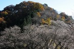 A-Resized 桜山(冬桜).jpg