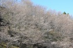 A-Resized 桜山(冬桜) (1).jpg