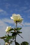 A-Resized 秋のバラ‥.jpg