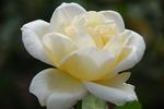 A-Resized 秋のバラ‥ (5).jpg