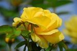 A-Resized 秋のバラ‥ (6).jpg
