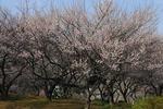 A-Resized 梅の公園 (5).jpg