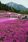 A-Resized 羊山公園の芝桜‥.jpg