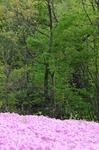 A-Resized 羊山公園の芝桜‥ (2).jpg