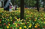 B-Resized ひたち海浜公園のチューリップ (10).jpg