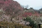 B-Resized ウメ‥(小石川植物園 ) (11).jpg