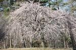 B-Resized 早春の武蔵丘陵森林公園‥(�U) (2).jpg