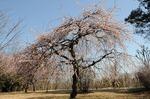 B-Resized 早春の武蔵丘陵森林公園‥(�U) (6).jpg