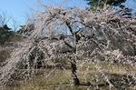 B-Resized 早春の武蔵丘陵森林公園‥(�U) (9).jpg