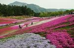 B-Resized 羊山公園の芝桜‥ (9).jpg