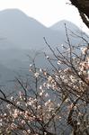 C-Resized 桜山(冬桜) (2).jpg