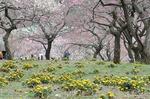 早春の武蔵丘陵森林公園‥(梅園) (15).jpg