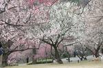 早春の武蔵丘陵森林公園‥(梅園つづき) (13).jpg