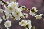早春の武蔵丘陵森林公園‥(梅園つづき) (2).jpg