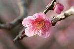 早春の武蔵丘陵森林公園‥(梅園つづき) (3).jpg