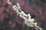 早春の武蔵丘陵森林公園‥(梅園つづき) (5).jpg