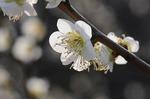 早春の武蔵丘陵森林公園‥(梅園つづき) (6).jpg
