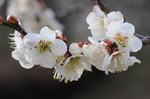 早春の武蔵丘陵森林公園‥(梅園つづき) (7).jpg