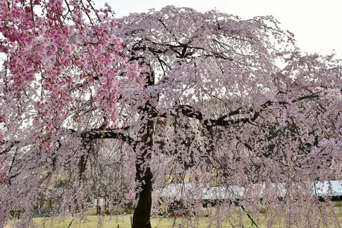 Resized  つがの里(栃木県栃木市)‥ (5).jpg