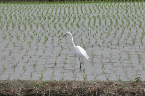 Resized  田圃の鷺‥ (3).jpg