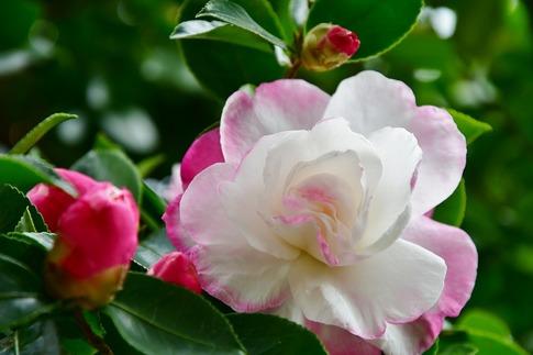 Resized  薔薇の小径‥ (4).jpg