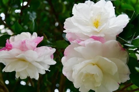Resized  薔薇の小径‥ (5).jpg
