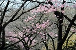 Resized 2009-03-20 新宿御苑‥(桜) (13).jpg