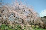 Resized 2009-03-20 新宿御苑‥(桜) (4).jpg