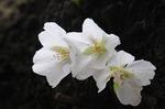 Resized 2009-03-20 新宿御苑‥(桜) (8).jpg
