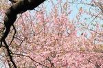 Resized 2009-03-20 新宿御苑‥(桜) (9).jpg