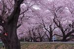Resized さくら公園の桜・花桃 (6).jpg