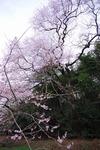 Resized エドヒガン桜 (1).jpg