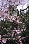 Resized エドヒガン桜 (2).jpg