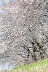 Resized 児玉千本桜ほか‥ (1).jpg