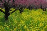 Resized 桃と菜の花など‥.jpg